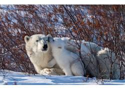 动物,雪,性质,北极熊,小动物,冬季635763