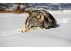 动物,雪,狼618495