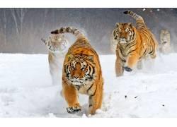 动物,雪,西伯利亚虎,大猫551781