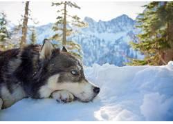 山,动物,雪,西伯利亚雪橇犬,狗622614