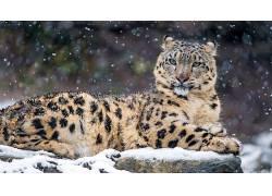 动物,雪豹,豹440398