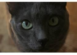 猫,灰色,动物,眼睛,俄罗斯蓝439941