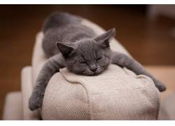 猫,睡眠,景深,Fabrice Meuwissen,动物,英国短毛猫598707