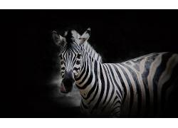 斑马,动物629715