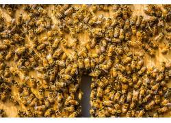 蜜蜂,昆虫,动物555453