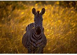 斑马,植物,背景虚化,草,看着观众,野生动物,动物408233