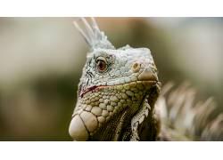 动物,鬣蜥,特写599346
