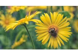 蜜蜂,昆虫,植物,绿色,黄色,花卉,动物,黄色的花朵548257