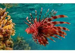 动物,鱼,水下,红色狮子鱼449192