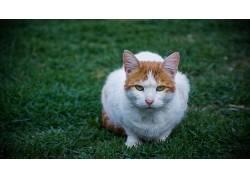 猫,草,小插图,动物,宠物436012