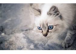 猫,蓝眼睛,动物,密封虎斑626872