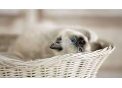猫,蓝眼睛,动物,篮540928