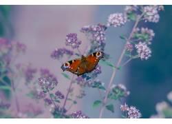 昆虫,鳞翅类,Aglais io,动物,花卉438987