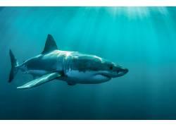 动物,鲨鱼,鱼,水下455855