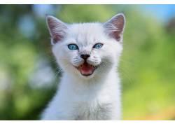 猫,蓝眼睛,动物618107