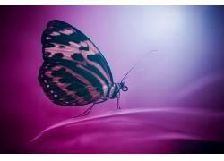 昆虫,鳞翅类,动物,宏422412