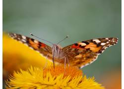 昆虫,鳞翅类,动物,宏422419