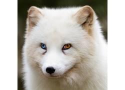 异色,狐狸,野生动物,望着远处,动物456113