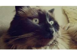 猫,野生动物,涅瓦Masquarade,猫的眼睛503925