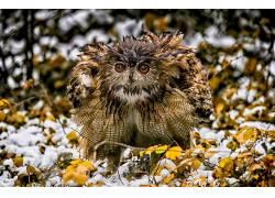 性质,冬季,动物,鸟类,猫头鹰586525
