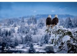 性质,冬季,动物,鸟类,雪,鹰654262