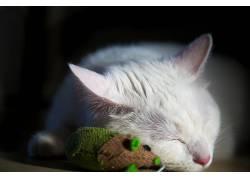 猫,闭着眼睛,动物,猫的,睡眠424461