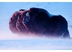 性质,冰,动物,水牛623050