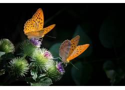 动物,鳞翅类,昆虫,宏,植物,花卉438346