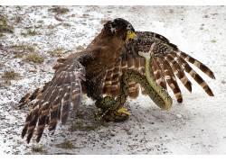 性质,动物,冬季,鸟类,蛇,猎鹰,雪,翅膀,羽毛,战斗,野生动物632870