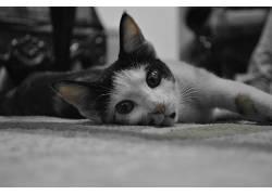 猫,黑色,白色,宠物,动物,面对478026