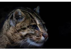 猫,黑色的背景,简单的背景,动物491814