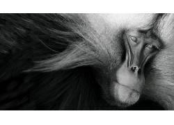 性质,动物,单色,猴,枪口,毛皮,看着观众397764