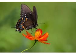 动物,鳞翅类,花卉,植物,宏,蝴蝶441825