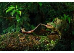 性质,动物,变色龙,昆虫,舌头,树木,苔藓,树叶,森林,Christian Zie