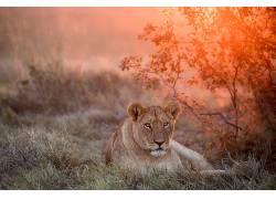 性质,动物,大猫,哺乳动物,狮子615997