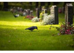 动物,鸟类,乌鸦,墓地,景深440141