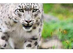 性质,动物,大猫,豹(动物)398974