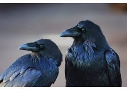 动物,鸟类,乌鸦,掠夺379680