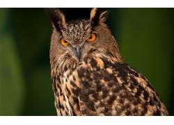 猫头鹰,鸟类,动物,绿色背景382744