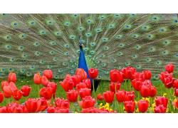性质,动物,孔雀,羽毛,花卉,红色的花朵,郁金香,草,鸟类503303