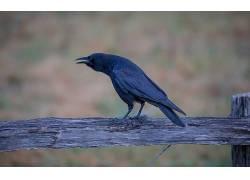 动物,鸟类,乌鸦460737