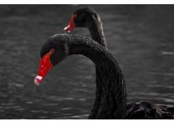 动物,鸟类,天鹅422452