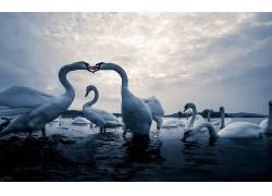动物,鸟类,天鹅457192