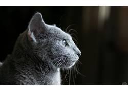 猫眼,猫,黑暗,俄罗斯蓝,动物的耳朵,猫耳朵,动物,动物的眼睛65570