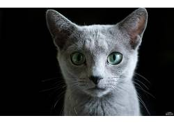 猫眼,猫,黑暗,俄罗斯蓝,动物的耳朵,猫耳朵,动物,动物的眼睛65571