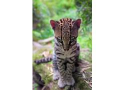 性质,动物,小动物,豹猫,菲利波皮宁尼,500px的,肖像显示,树木,景