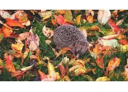 猬,autumm,树叶,草,性质,在户外,动物587191