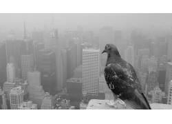 动物,鸟类,市容,鸽子,单色441812