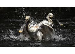 动物,鸟类,性质,水552403