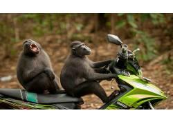 性质,动物,景深,幽默,枪口,摩托车,凯蒂拉维克福斯特,猕猴,印度尼